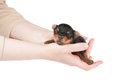 Woman takes two week old puppy Stock Photo