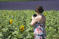 Woman taking photos the sunflowers field in provence Stock Photos