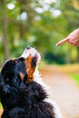 Woman training with dog sit command doing obedience practicing Royalty Free Stock Photo