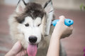 Woman using a comb brush the siberian husky puppy Royalty Free Stock Photo