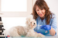 Woman vet with a little dog beautiful toothpaste trying to clean tooth of maltese in the treatment room Stock Images