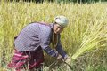 Woman of the White Karen hill tribe harvests rice at the field in Chiang Mai, Thailand. Royalty Free Stock Photo