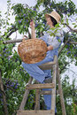 Woman on wooden stair picking plums Royalty Free Stock Photo