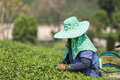Woman worker picking tea leaves at a tea plantation in Thailand Royalty Free Stock Photo