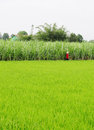 A woman working on rice field in Dong Thap, Vietnam Royalty Free Stock Photo