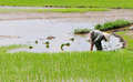 A woman working on rice field in Ninh Binh, Vietnam Royalty Free Stock Photo