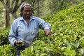 Smiling woman working on a tea plantation in Sri Lanka Royalty Free Stock Photo