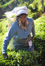 Woman working in tea plantation Royalty Free Stock Photo