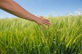 Womans hand touching wheat in field on a sunny day the countryside Stock Image
