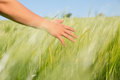 Womans hand touching wheat in field on a sunny day the countryside Stock Photos