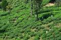 Womans Harvest Tree In Big Tre...
