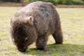 Wombat Royalty Free Stock Photos