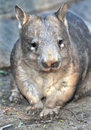 Wombat, australian common, queensland, australia Royalty Free Stock Photography