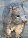 Wombat, australian common, queensland, australia Stock Image