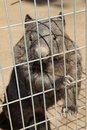 Wombat behind bars this just wanted some attention and was quite keen to attract someone to her enclosure Royalty Free Stock Images