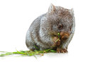 Wombat eating isolated little female months while the grass on white background family of mammal marsupial herbivore that Stock Photography