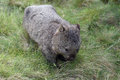 Wombat tasmania australia cradle mountain national park Royalty Free Stock Photos