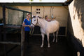 Women cleaning white horse at barn Royalty Free Stock Photo