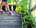 Picture : Women gardener watering plants. Container vegetables gardening. Vegetable garden on a terrace. Flower, tomatoes growing water hand export
