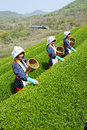 Women harvesting tea leaves Stock Images