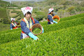 Women harvesting tea leaves Stock Photo
