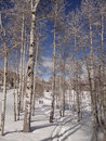 Women snowshoeing under bare winter aspens in vail valley colorado Royalty Free Stock Photo