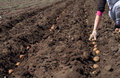 Women sowing potato seeding process Royalty Free Stock Image