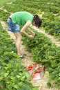 Women in a strawberrie field Stock Photos