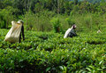 Women Tea Pickers At Work Royalty Free Stock Photo