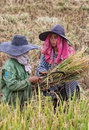 Women working in indonesia rice fields two dressed wtih hats and scarves for sun protection and harvesting near ubud bali Royalty Free Stock Image