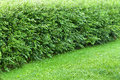 Wonder hedge bushes at the edge of lawn Royalty Free Stock Photo