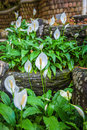 Wonderful blooming green park with flowers spathiphyllum. Royalty Free Stock Photo