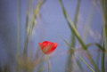 Wonderful flower of poppy on the blue sky backgroud beautiful Royalty Free Stock Photography