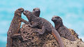 The Wonderful Marine Iguanas O...