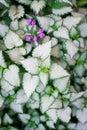 Wonderful pattern on hosta in nature Royalty Free Stock Photo