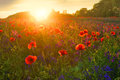 Wonderful Poppyfield with bellflower at evening sunset Royalty Free Stock Photo