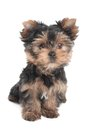 Wonderful puppy of the yorkshire terrier sitting on white background Royalty Free Stock Photography