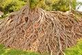 Wonderful root of tree Royalty Free Stock Photo