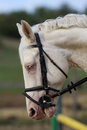 Wonderful white horse head with unique blue eyes Royalty Free Stock Photo