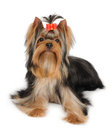 Wonderful yorkshire terrier isolated over white background Stock Photo