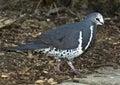 Wonga Pigeon Royalty Free Stock Images