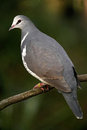Wonga pigeon on branch a tropical australian bird Royalty Free Stock Images