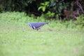 Wonga pigeon leucosarcia melanoleuca in australia Royalty Free Stock Photos