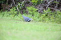Wonga pigeon leucosarcia melanoleuca in australia Stock Photo
