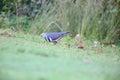 Wonga pigeon leucosarcia melanoleuca in australia Royalty Free Stock Image