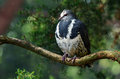 Wonga pigeon leucosarcia melanoleuca sit on a tree branch in the australian dry forest Royalty Free Stock Photography