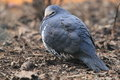 Wonga pigeon the on the soil Royalty Free Stock Image