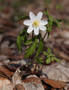 Wood anemone (Anemone nemorosa) Royalty Free Stock Image