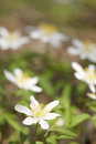Wood anemone anemone nemorosa close up with shallow depth of field Royalty Free Stock Photo