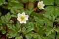 Wood anemone anemone nemorosa white flower Stock Photography